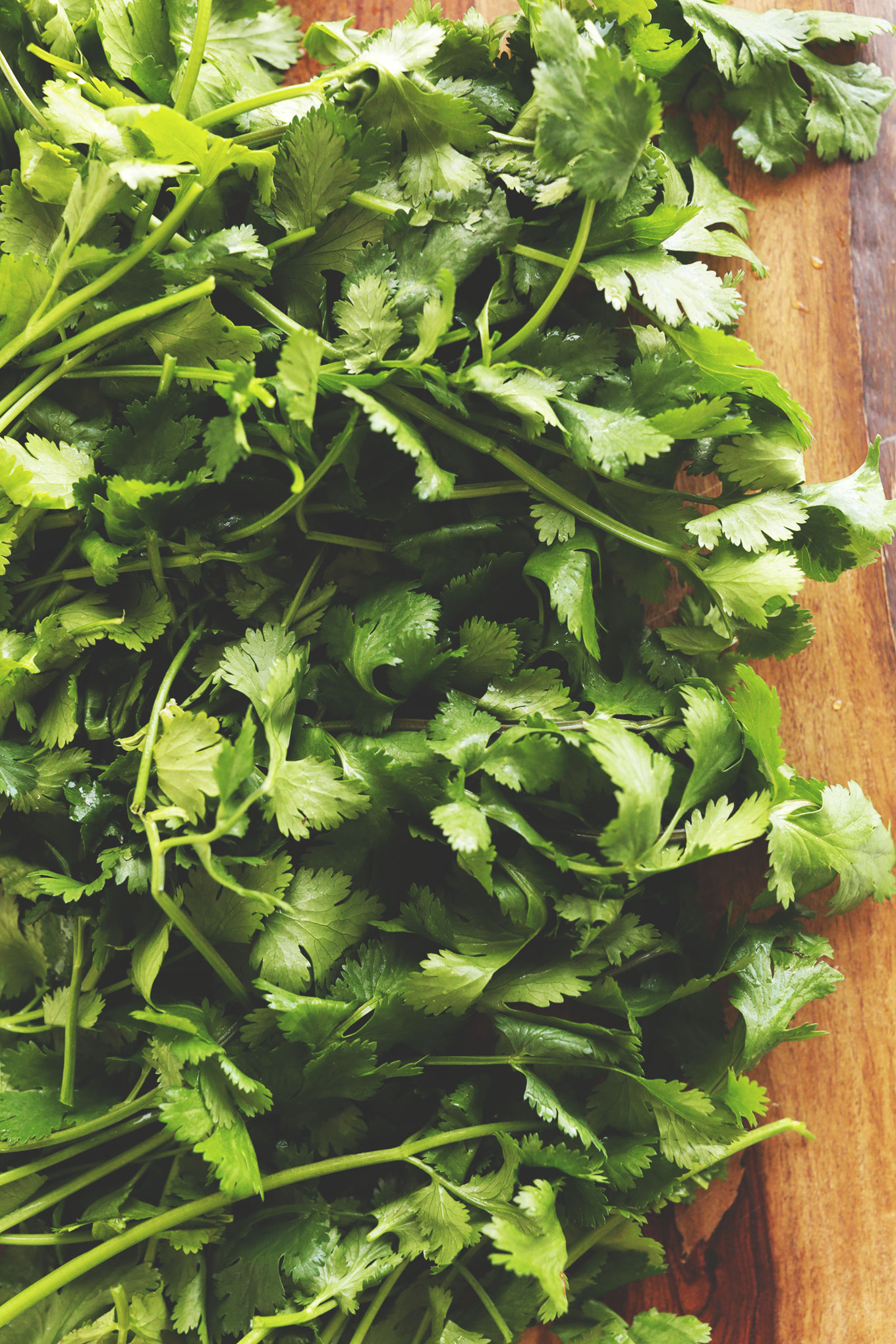 Bunch of freshly washed cilantro for making homemade spring rolls